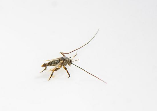 图为:在浙江沿海新发现的物种——中华二叉摇蚊(雄成虫)。 陈春棠 摄