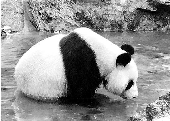 杭州动物园防暑有道:熊猫馆澡堂开业 羊驼剃毛晒太阳
