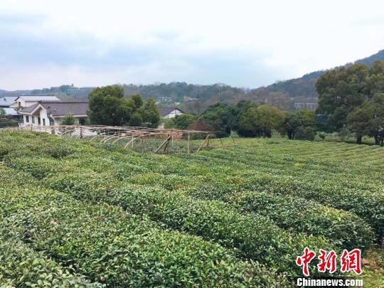 杭州市西湖区茶山。 钱晨菲 摄