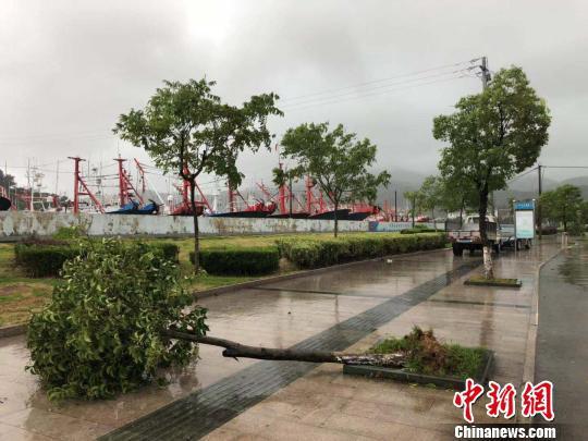 图为象山石浦渔港马路树木被风吹倒。 林波 摄