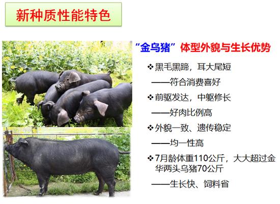 """到底有多好吃,钱报记者来到浙江省农科院见到了""""金乌猪之父""""潘建治研究员。"""