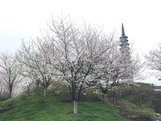 杭州西湖边樱花提前怒放 推荐三大公园赏樱晒太阳