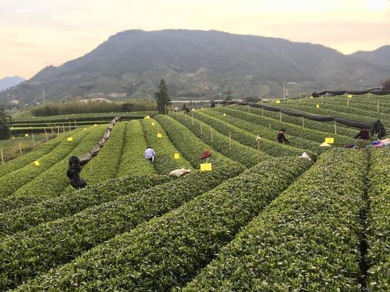 松阳产哪些茶叶