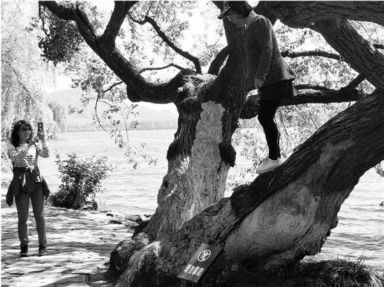 苏堤上游客爬上树枝摆Pose