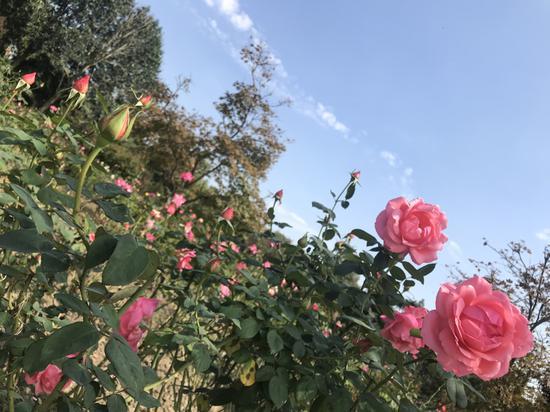 """如果你喜欢""""花中皇后""""月季的美丽,那就来杭州花圃享用这道月季盛宴吧。"""