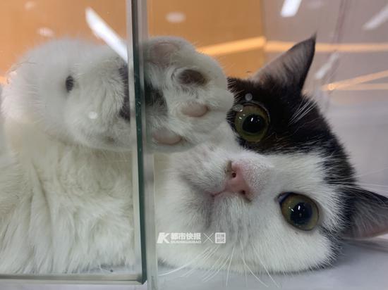 猫咖里的宠物猫 摄影 | 楼金靖