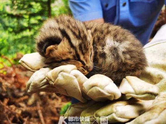 浙江一林地又发现两只豹猫幼仔 将其送回出生地