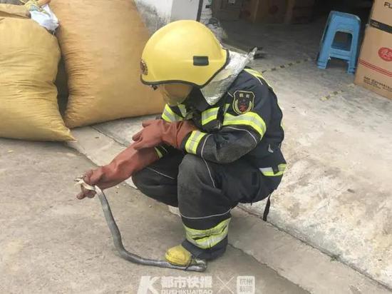 金华1工厂闯入1米多长眼镜蛇 消防员手脚并用将它抓住