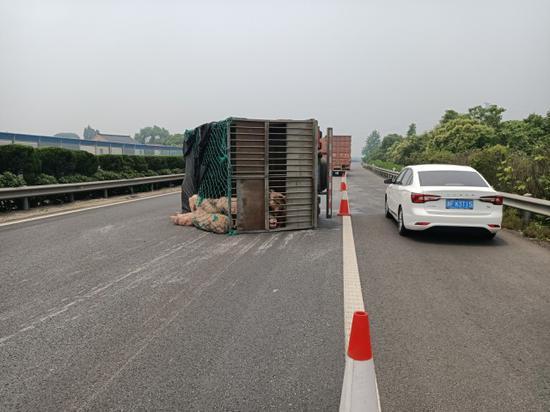 练杭高速上26只猪四处撒欢 高速巡查及时赶来捉拿归案