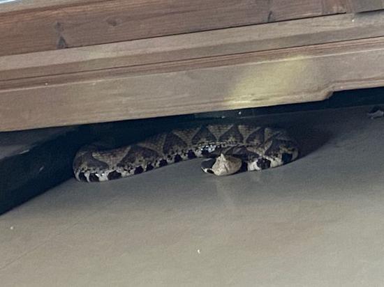 杭州富阳一户人家惊现五步蛇 家中狗狗狂吠主人才发现