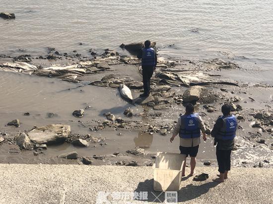杭州钱江三桥附近发现一江豚可惜已死亡 或被做成标本