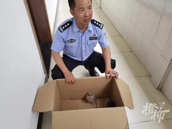 杭州居民家飞来两只怪鸟 是国家二级保护动物领角鸮