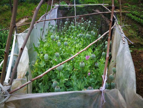 经清点,菜地里的罂粟竟然达641株之多 警方提供
