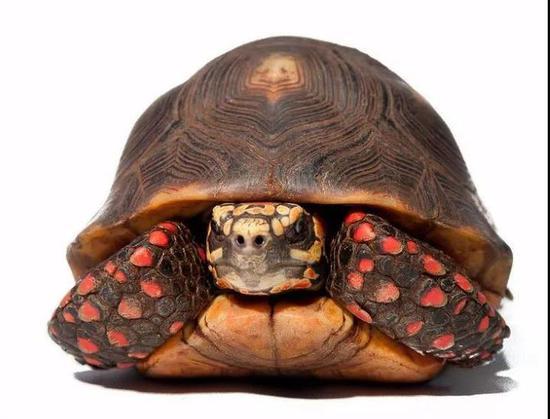 属于陆龟科。体长30公分左右,最大可达45公分,颜色鲜艳夺目。
