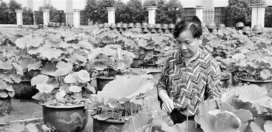 钱萍每天陪着上千水缸的荷花 ,就这样培育荷花宝宝34年。