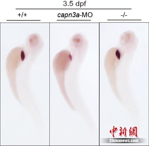 Capn3a突变体具有基因补偿效应。浙大供图