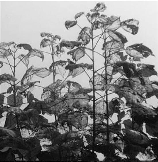 有了美国白蛾的植物,树叶被食尽(资料图)