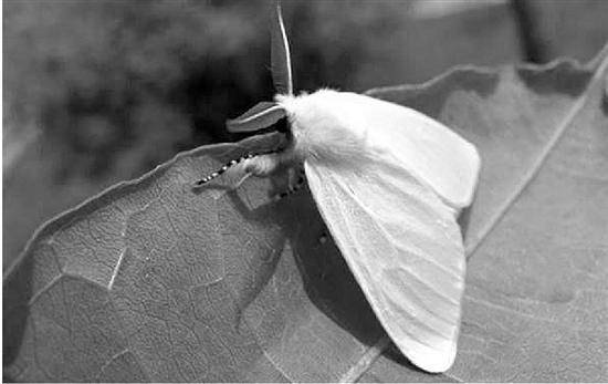 美国白蛾(资料图)