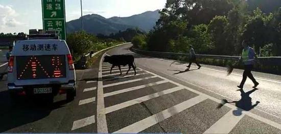 昨天(7月17日)下午,高速交警丽水支队一大队民警接到指令后立刻赶往发现牛群的G25长深高速丽水段。