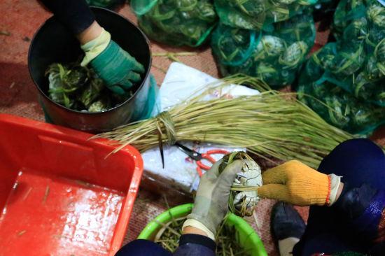 图为:捆蟹工正在用苇草把大闸蟹捆好。 王远 摄