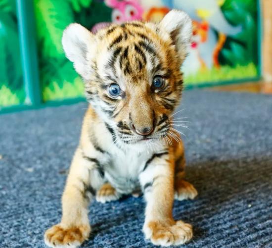 2017年在杭州野生动物世界出生的华南虎