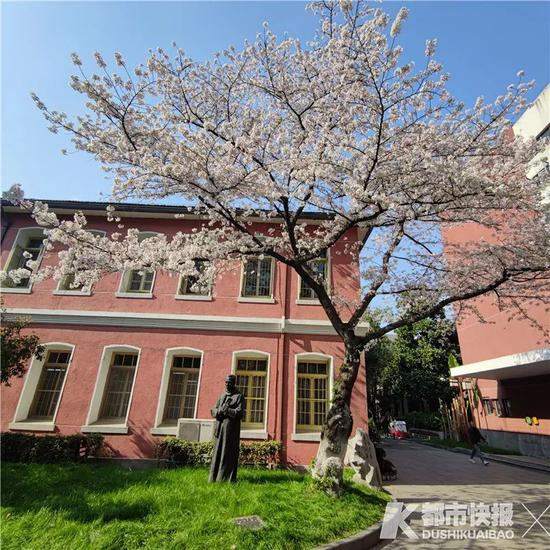 杭州高校園里這兩棵櫻花王 據說是魯迅先生親手種的