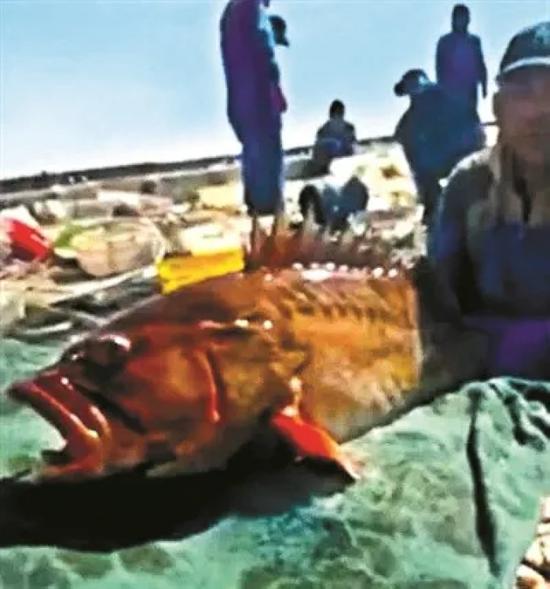 50斤重的石斑鱼 图片据渔民发回来的视频截图