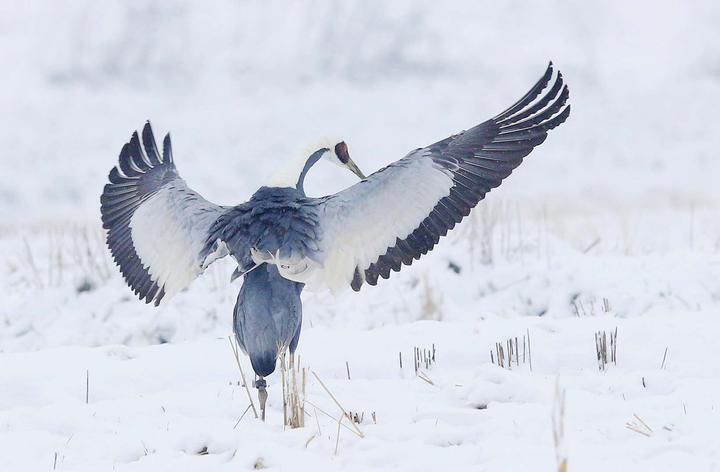 温州网友拍摄的雪中鹤