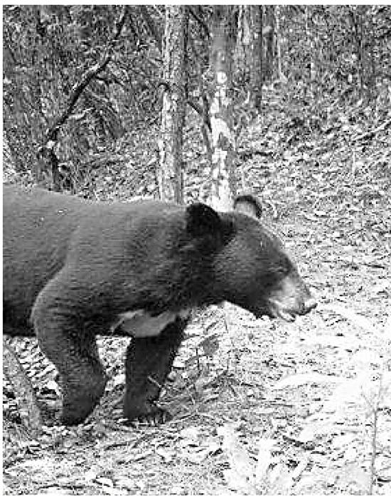 此前在开化拍到的黑熊。(资料照片)