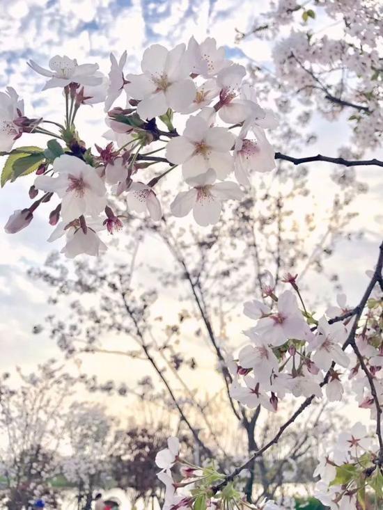 是在瓯江口看樱花?
