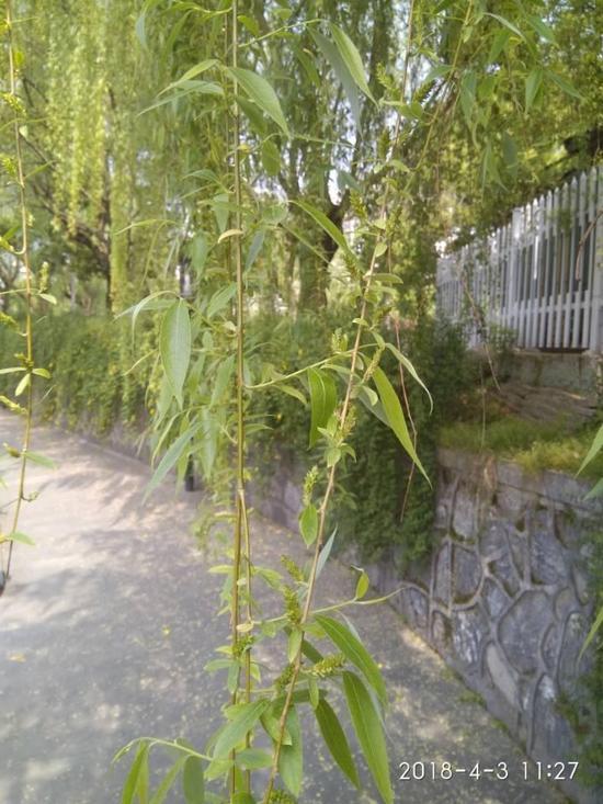 没有注射药水的柳树