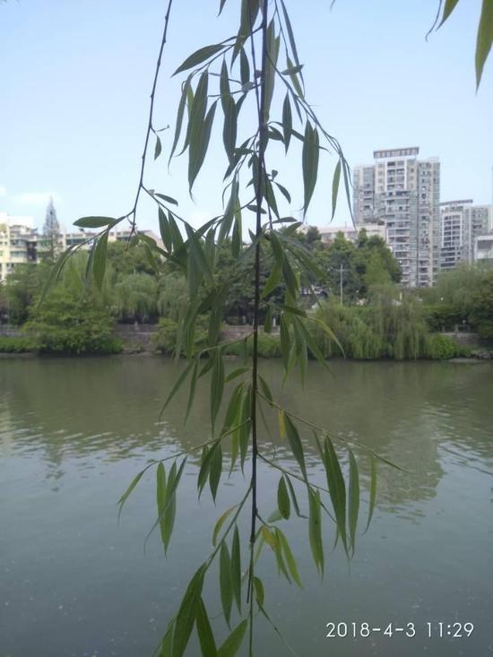 注射过药水的柳树