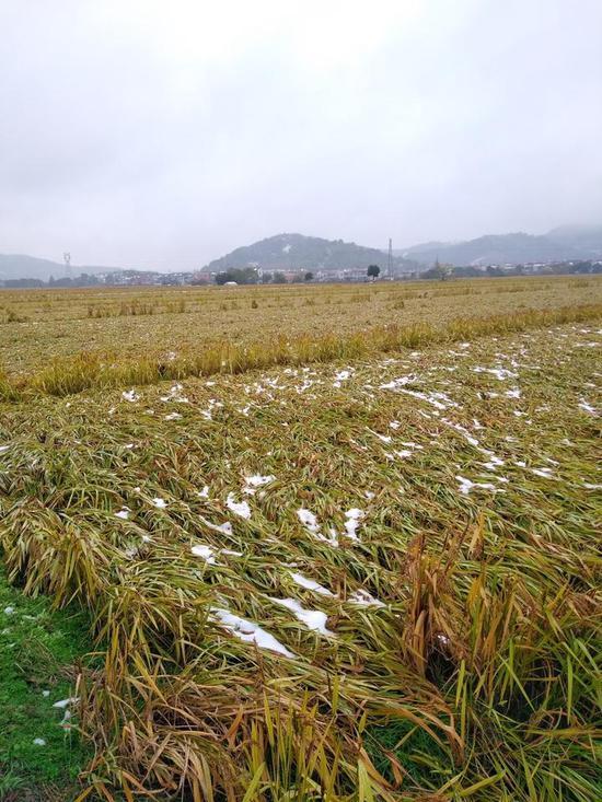 降雪天气致水稻倒伏