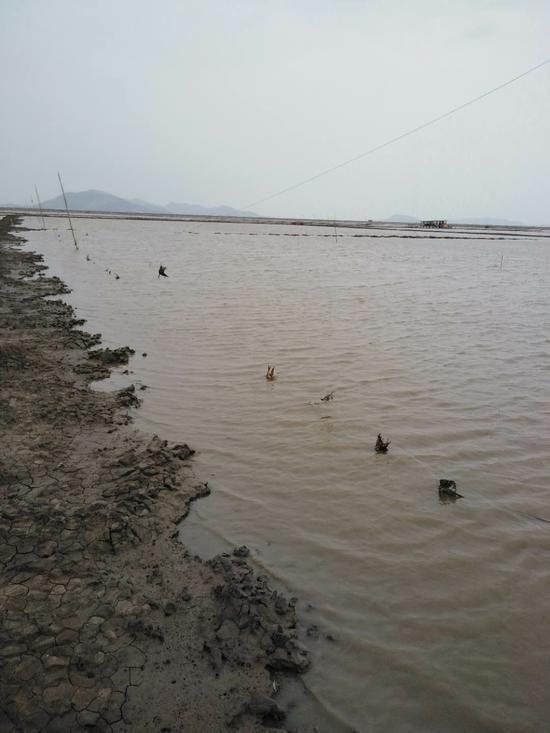 洞头灵霓北堤附近滩涂,绵延约1公里的拦网上,百余只迁候鸟误撞护蛏拦网丧命 洞头宣传部供图