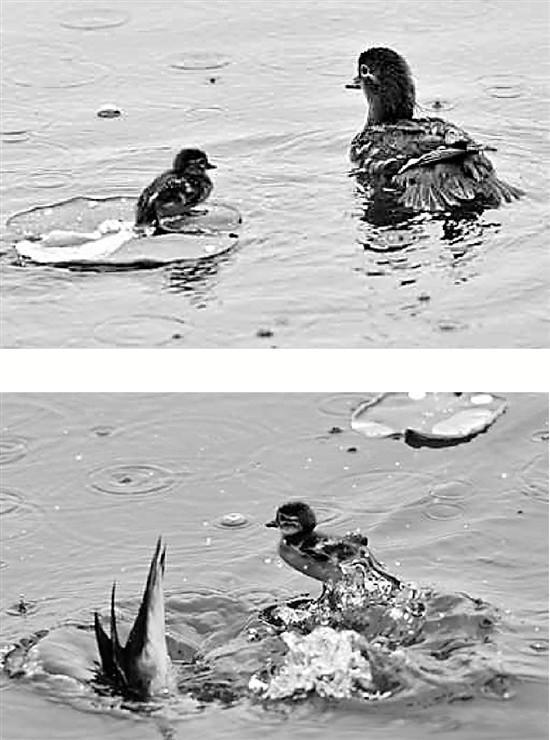 上图:再小的荷叶,都能变成鸳鸯宝宝的西湖游船。大陆 摄