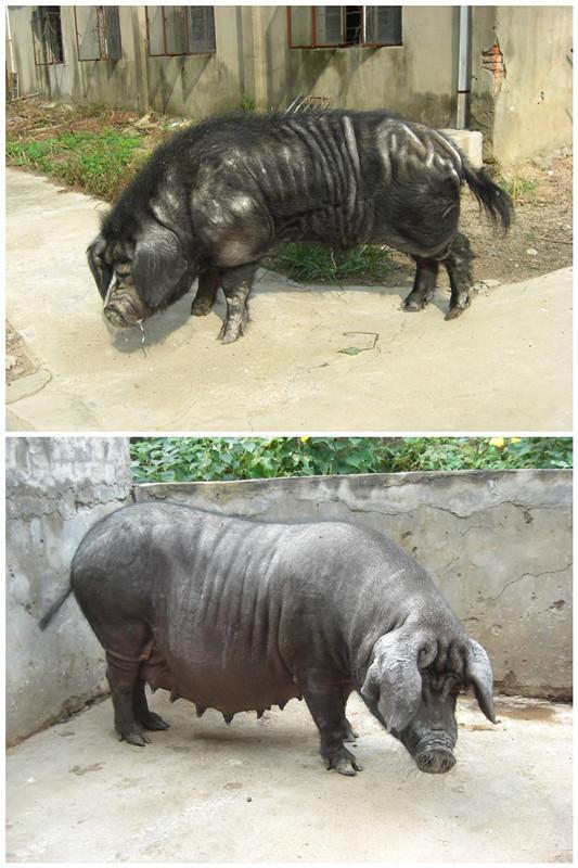 图:岔路黑猪(公母)