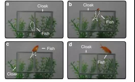 一条金鱼在可见光波段的隐形装置中进出。