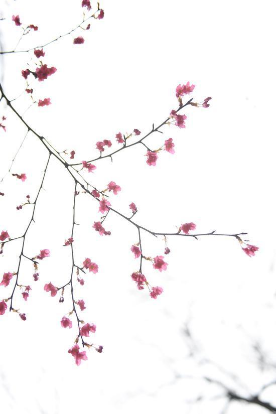 图为:次第开放的樱花。