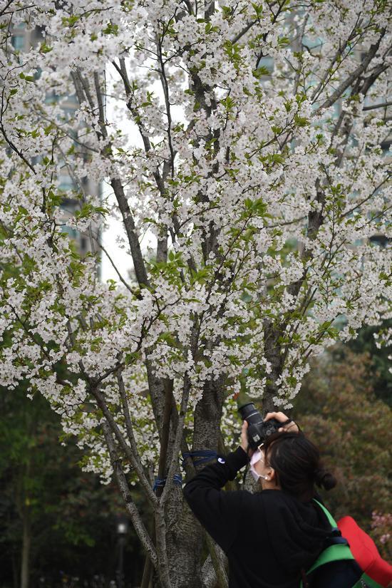 摄影爱好者在拍摄樱花。王刚 摄