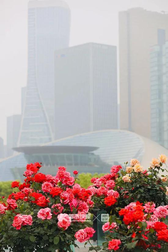 城市阳台月季盛开。记者夏阳摄