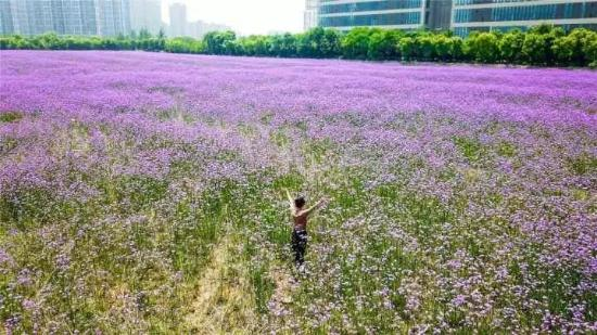 杭州现紫色梦幻浪漫花海 网友:整个人要恋爱了(图)