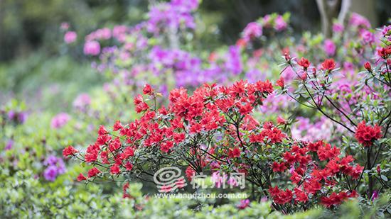 原产地日本的火烈鸟品种