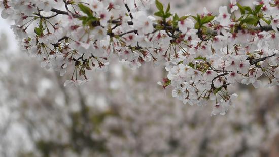 大量樱花密集绽放。王刚 摄