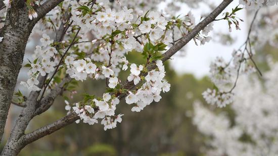 樱花开满枝头。王刚 摄