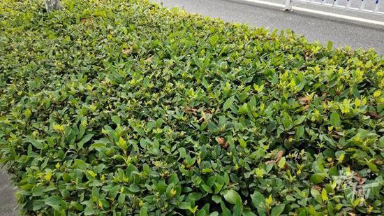 浙江一绿化带飘出阵阵脚臭味 养护单位找到了答案
