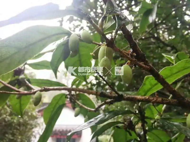 冷空气持续杭州不少桂花树寒风中结子 只能看不能吃