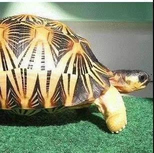背甲长可达40厘米,头颈黄与黑灰色相杂,前额鳞2枚,顶鳞1枚。辐纹陆龟生活