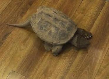 他们说会将鳄龟送至动物园妥善处理。