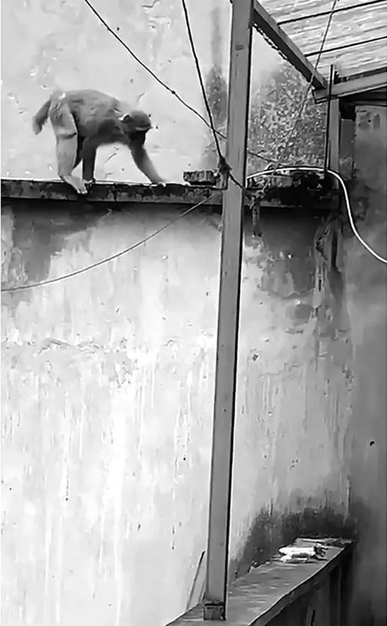 杭州一女士疑似家中有贼进入 猴子到村民家寻找吃食
