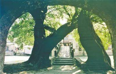 温州市树:榕树 杨保民 摄